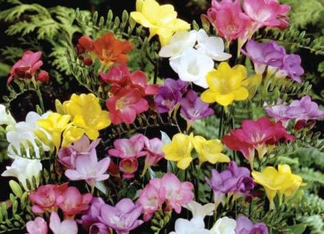 10 Freesia Bulbs Single Mix Mixed BRIGHT color Collection Bulbs .